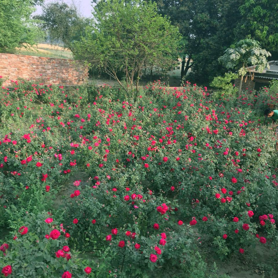 Prem's rose garden