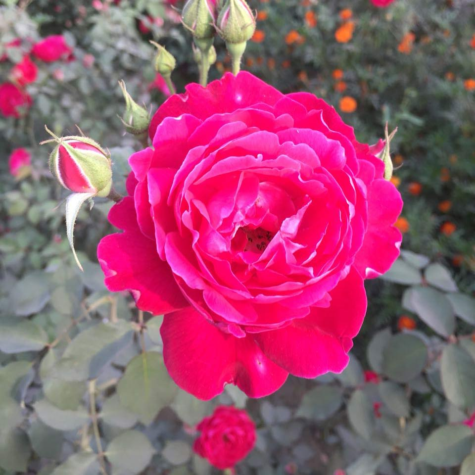 One of Prem's roses
